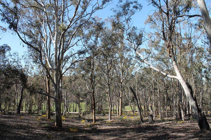 Wandoo and wattle in Toodyay Western Australia