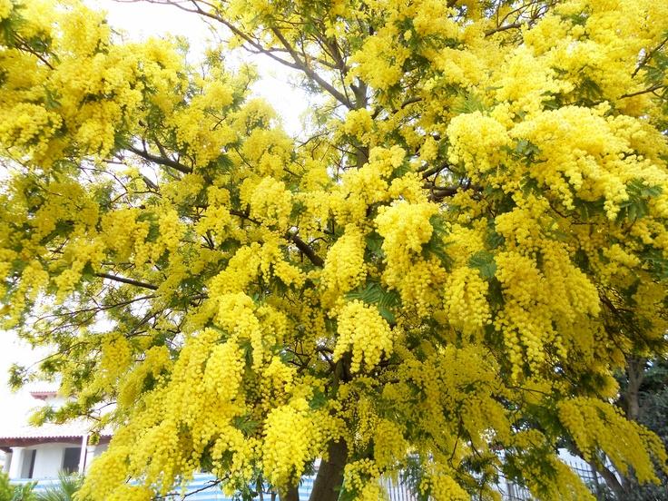 Mimosa (Acacia dealbata) - Foto di AlexChiapp®