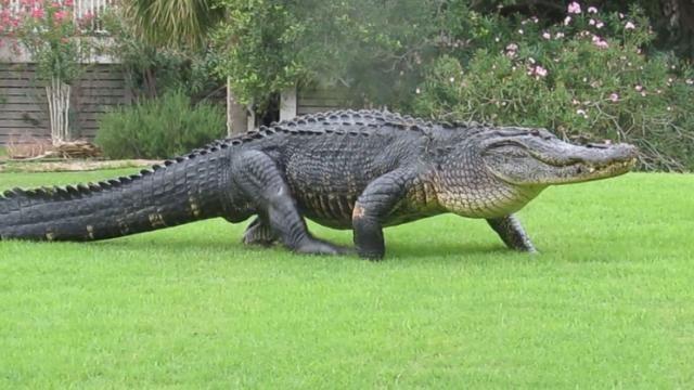 Huge alligator strolls across a South Carolina golf course! FORE!!!!