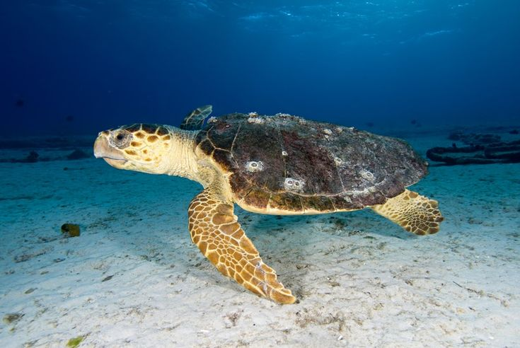 Barnacles enlisted to save endangered turtles   Cosmos