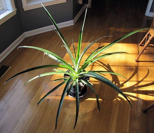 Il mio Pianeta: Come piantare e coltivare una pianta di Ananas