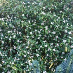 Daphne bholua mature shrub