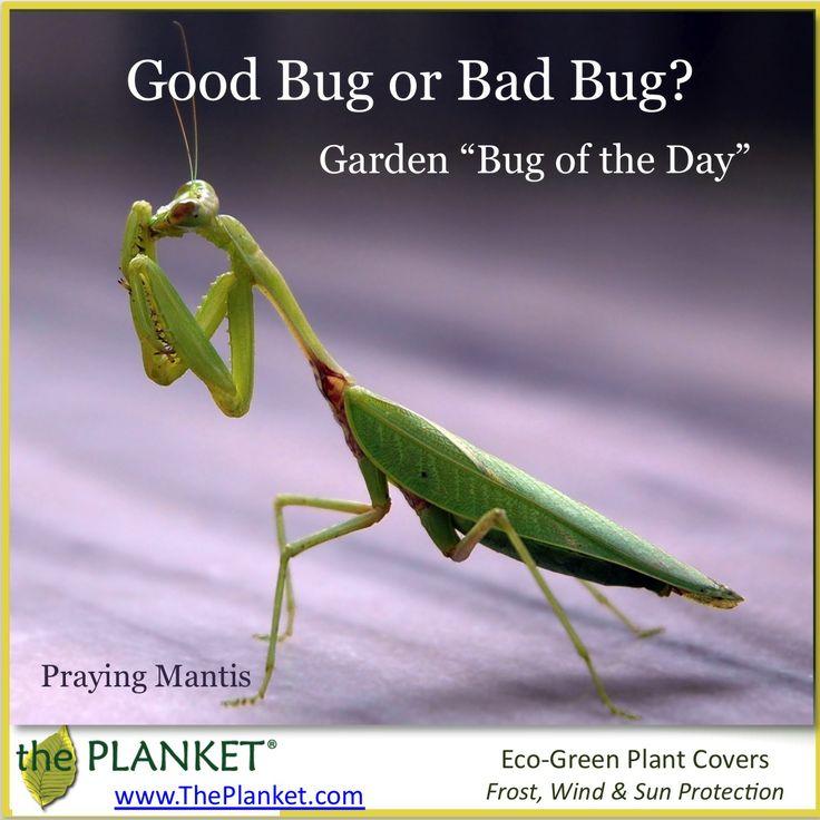 31 Best Praying Mantis Images On Pinterest