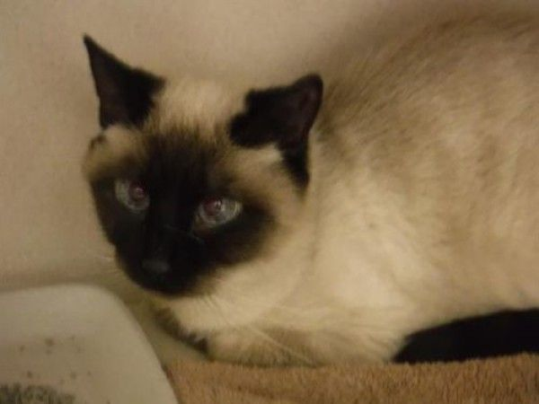 Domestic Short Hair Cat For Adoption In Denver Colorado Chloe