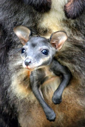 A baby brush-tailed rock-wallaby pokes its head out of its mother's pouch at Taronga Zoo in Sydney as part of a successful breeding program for endangered species.
