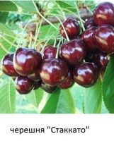 Черешня, саженцы черешни разных сортов купить в Киеве и др. фруктовые деревья.