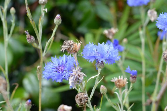 Blue flowers digital photograph surrounded by ArtisticPrintables