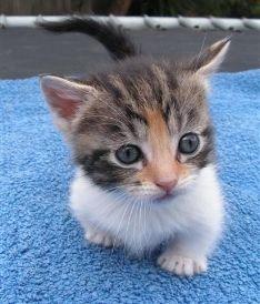 Miniature Munchkins Cat | Munchkin Cat Breeders Australia - Munchkin Kittens For Sale