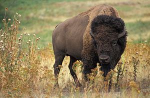 """""""Der Amerikanische Bison (Bison bison), oft auch als Indianerbüffel oder nur als Büffel (englisch buffalo) bezeichnet, ist ein in Nordamerika verbreitetes Wildrind und zugleich das größte Landsäugetier der Region."""" (美洲野牛) (Bison d'Amérique du Nord) (El bisonte americano)"""