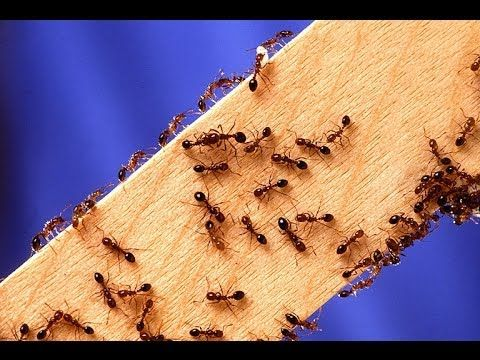 ▶ HOW TO KILL FIRE ANTS ~ DEAD ! - YouTube  don't be confused with sugar ants -argentinian ants. These are protein/fat ants. the bit hurts and itches for weeks for just 1 bite.