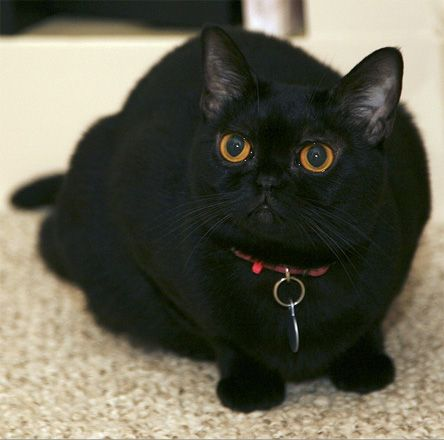 Bombay Cat Want Didn T Know My Favorite Type Of Cat Was