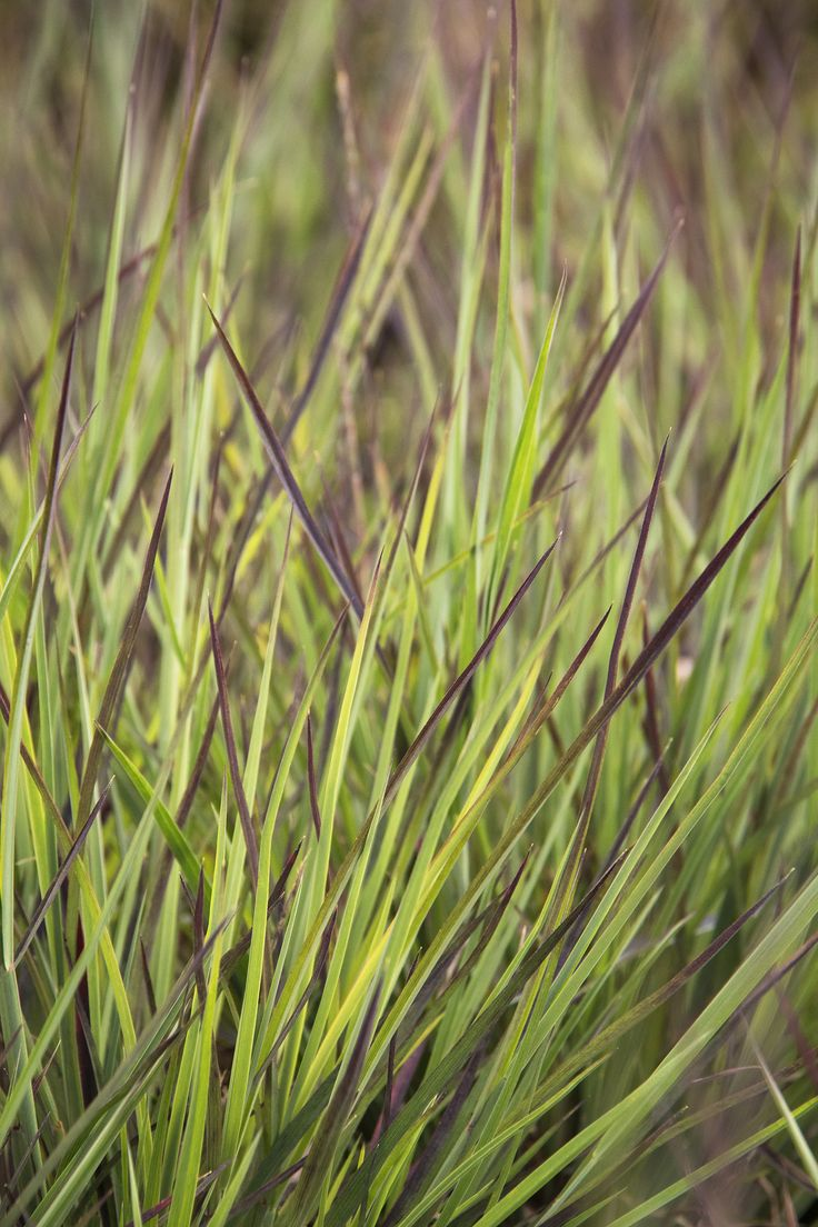 Blue dune lyme grass in texas - Blue Heaven Little Bluestem S Narrow Upright Grassy Foliage Emerges Blue Develops Pink And