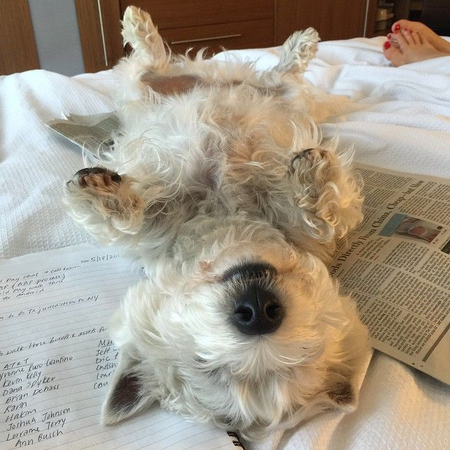 Just a Westie staying with Hyatt Place Durham/Southpoint. Photo courtesy of @saralau on Instagram.#PetsofHyatt