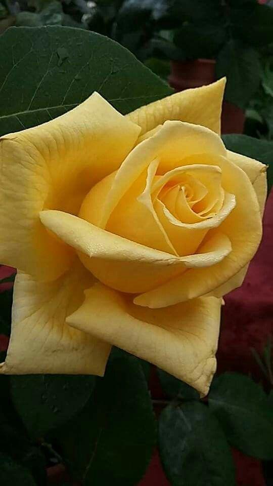 Rosa de la ciutat de les roses