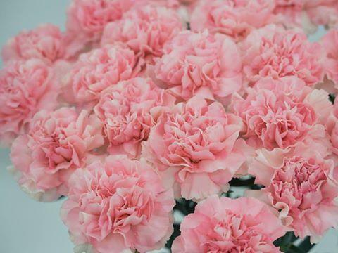 Garofani rosa.