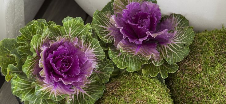 Pyntekål, Brassica oleracea