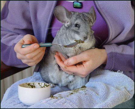 Chinchilla care - photo#48