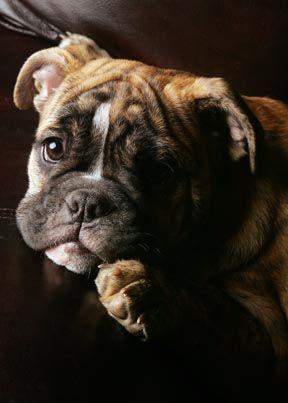 Boxer puppy...