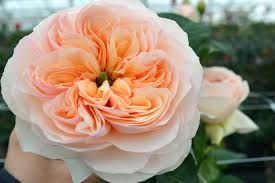 Risultati immagini per rose inglesi colori