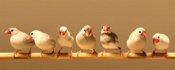 文鳥  7羽の手乗り文鳥と暮らす充足した日々/【文鳥生活-Living with a Java sparrow】-7羽の手乗り文鳥・名前