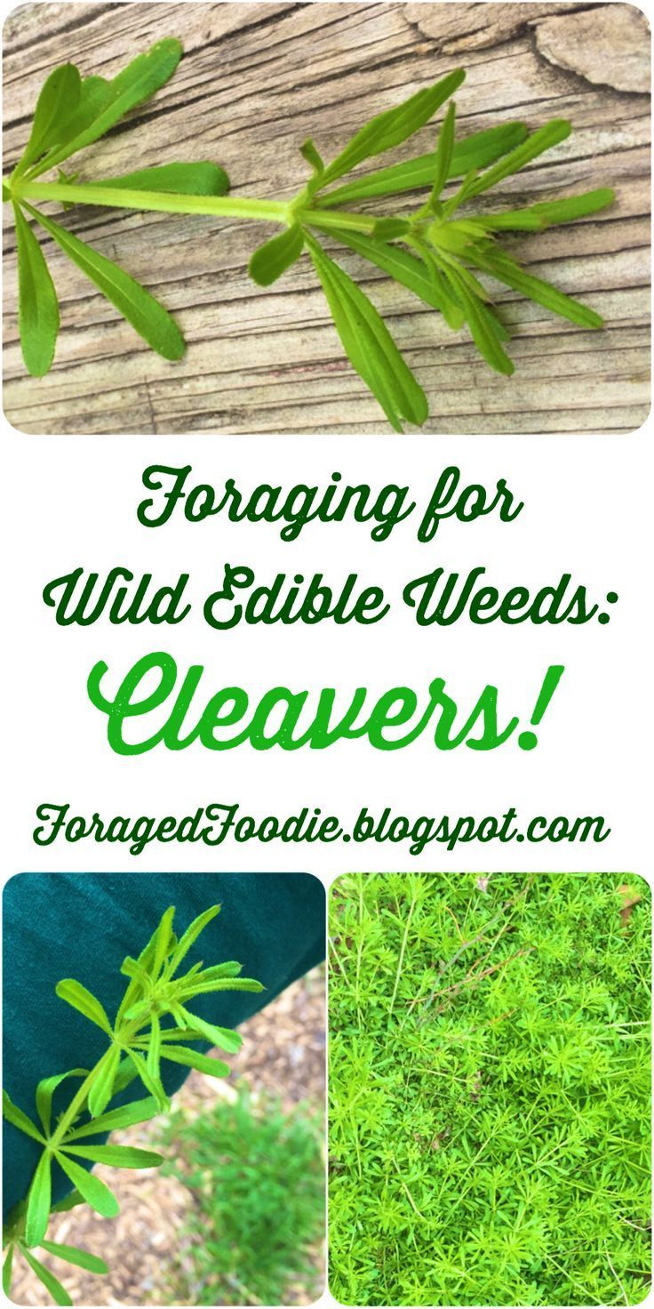 Foraging: how to safely find, identify, prepare and eat wild cleavers (Galium aparine) weeds. From the Foraged Foodie.