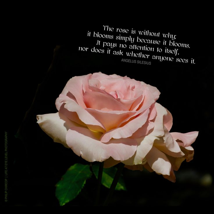 WITHOUT WHY Why does the rose blossom and bloom? Because it does! Why am I here? Because I am! Why is this happening? Because it is! I am here and it is now. The precious, fragile gift of life unfolding The mystic Angelus Silesius (c. 1624 – 9 July...