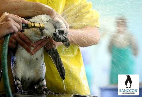 Rinsing an oiled African Penguin @ SANCCOB