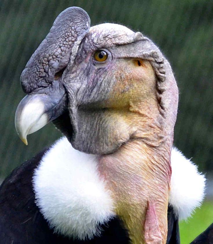 Vultur gryphus; Andean Condor