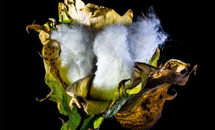 Vad är ekologisk bomull?