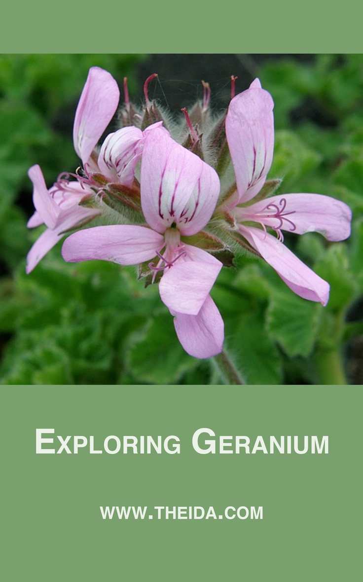 The Pelargonium Issue  #aromatherapyeducation #essentialoils #geranium #lovewhatyoudo #aromaticmedicine #herbs #classes