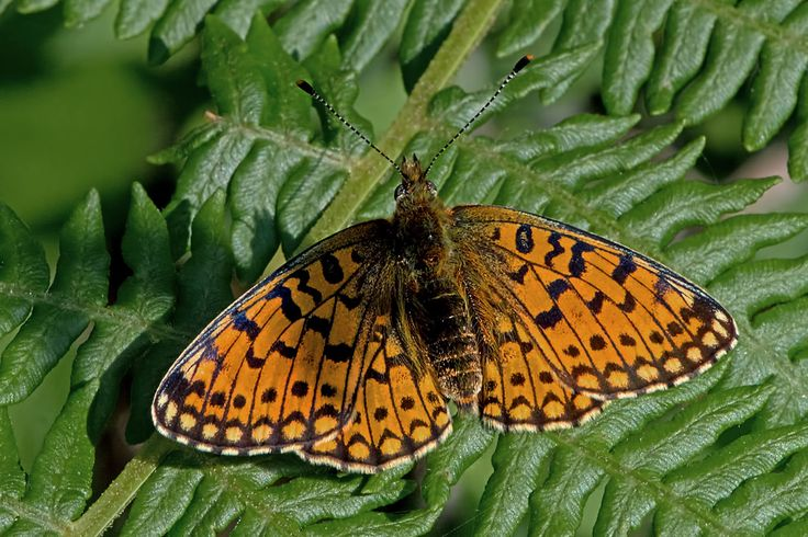 BugsAlive posted a photo:  Bentley Wood, Hampshire, U.K.  Family : Nymphalidae  Subfamily : Heliconiinae  Species : Boloria selene  This is a widely distributed species although not particularly common. Found in small colonies throughout most of northern and central Europe, Russia, parts of Central Asia, Mongolia, Korea, Japan, and North America. Because of this wide distribution it has several different common names including Silver-bordered Fritillary, Astro Fritillary, Myrina Fritillary…