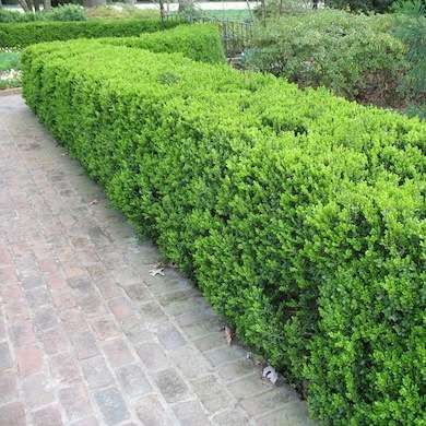The 25+ Best Living Fence Ideas On Pinterest | Hedge Fence Ideas, Living  Willow Fence And Backyard Trees
