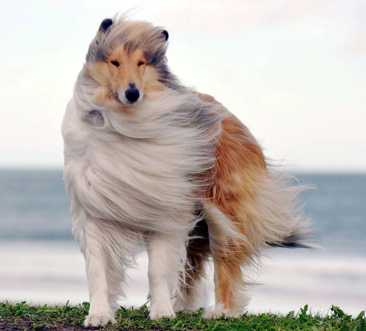Dated: 22/02/2017 WOOF WEATHER ... Prince, a Rough Collie stands windswept in the windy conditions on Seaburn Beach in Sunderland today (WED) as the edge of Storm Doris heads towards the UK bringing heavy snow and severe gales. See weather round-up