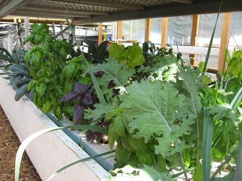 Aquaponics is a combination of hydroponics and aqua for Closed loop gardening