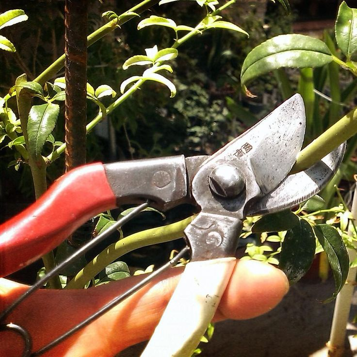 A real classic: 36 years old and still razor-sharp! #Okatsune #Pruning #Classic #JapaneseShears