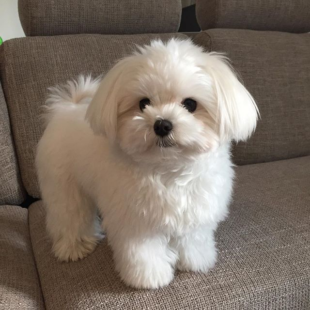 Adorable Fluffy Maltese type puppy