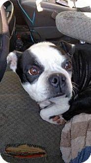 Huntington, IN - Boston Terrier. Meet Buffy, a dog for adoption. http://www.adoptapet.com/pet/16003648-huntington-indiana-boston-terrier