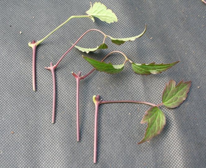 How to take clematis cuttings.