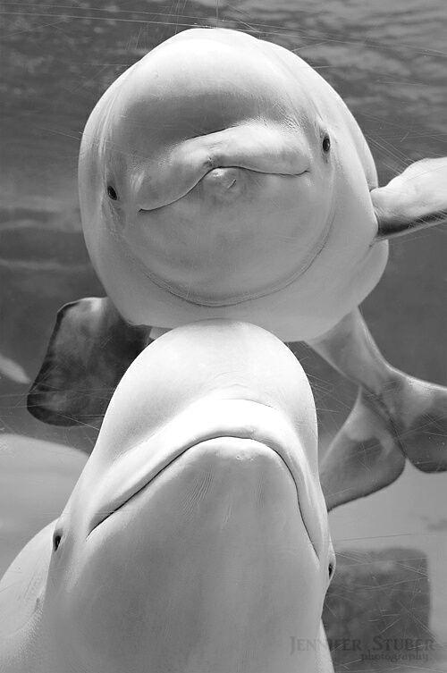 Jennifer Stuber Photography... Beluga Whales. ☚