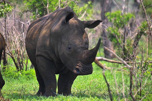 White Rhino (Enfangered)