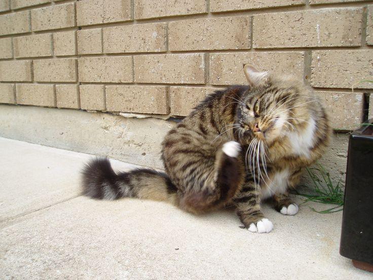 Munchkin cat - got an itch?