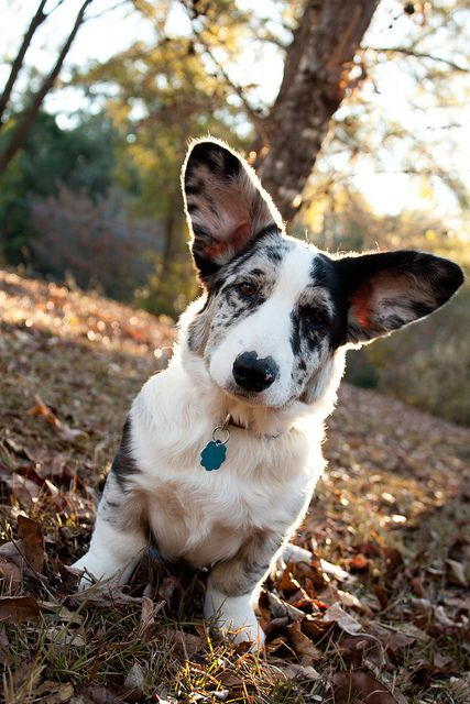 Byron - Cardigan Welsh Corgi - Puppy 5 Months by MagnoliaFly, via Flickr