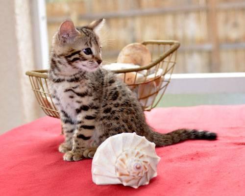 Beautiful brown bengal kitten: Bengal Kittens, Beautiful Brown, Brown Bengal