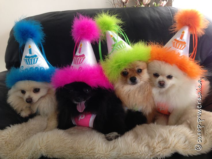 Party poms!  #pomeranian Follow us on facebook @ https://www.facebook.com/snoop.pomeranian