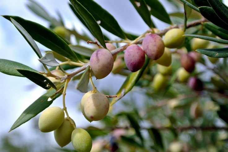 Eumelia Organic Agrotourism Farm, Peloponnese, Greece. Eumelia's extra virgin organic olive oil is produced with the highest possible standards