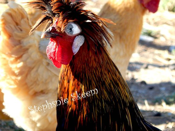 Chicken Pet Quote: Best 25+ Funny Chicken Pictures Ideas On Pinterest