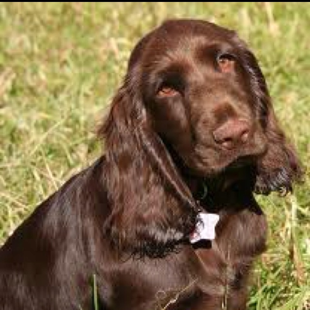 114 best images about Field Spaniel on Pinterest | Spaniel ...