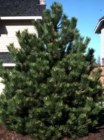 dwarf austrian pine garden landscaping