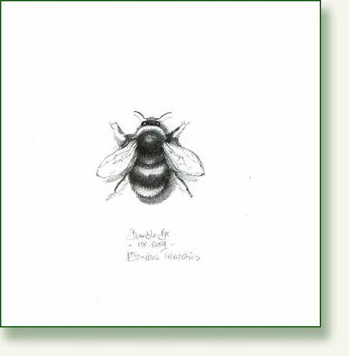 Bumble Bee, pencil drawing by pencilandleaf, via Flickr