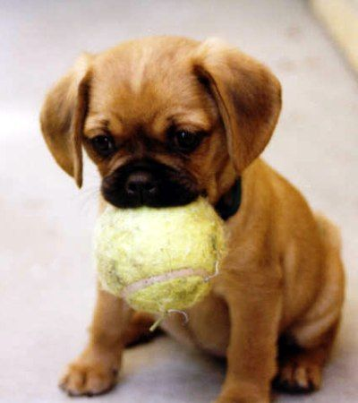 This is one of the cutest puppies I've ever seen. Got his ball all ready to play!!
